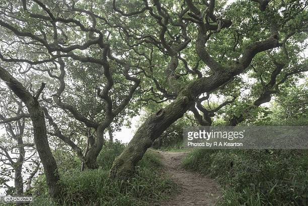 Path beneath gnarled old Oak Trees
