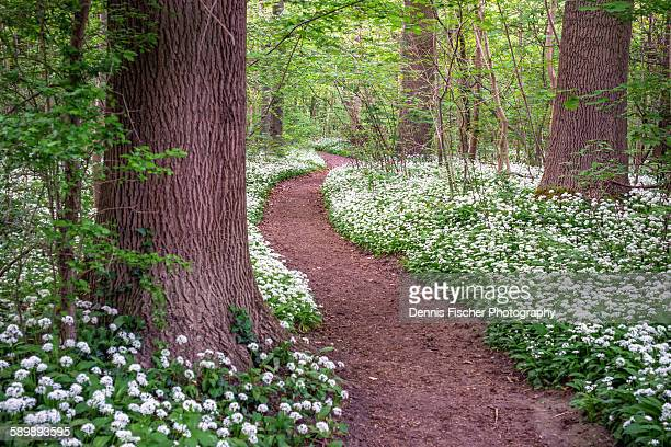 Path in a forest with wild garlic