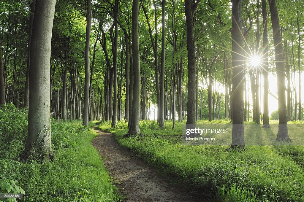 Path in Beech tree forest with sunbeams, spring. : Stock Photo
