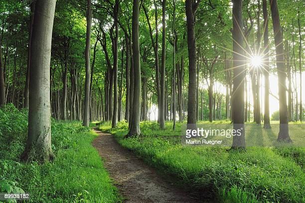 Path in Beech tree forest with sunbeams, spring.