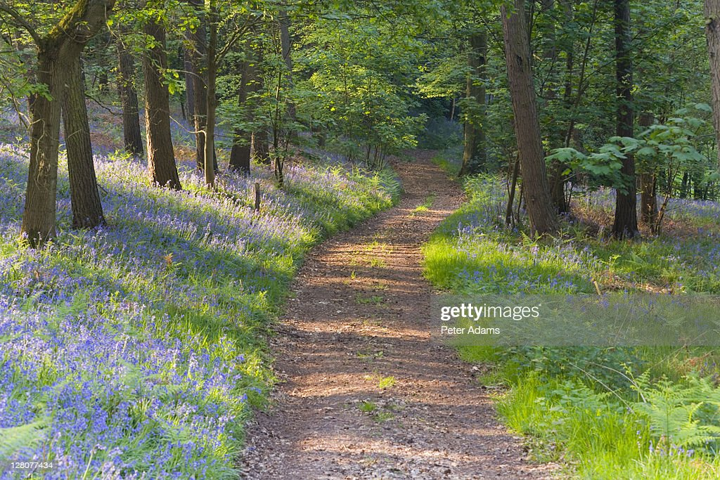 Path in bluebell wood, Gloucestershire, UK