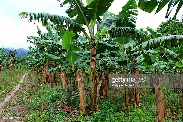 Path in the middle of a banana plantation, Brazil
