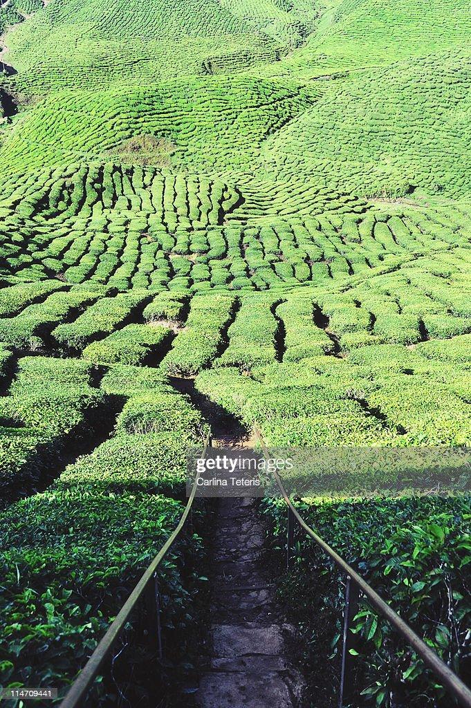Path leading into  tea plantation : Stock Photo