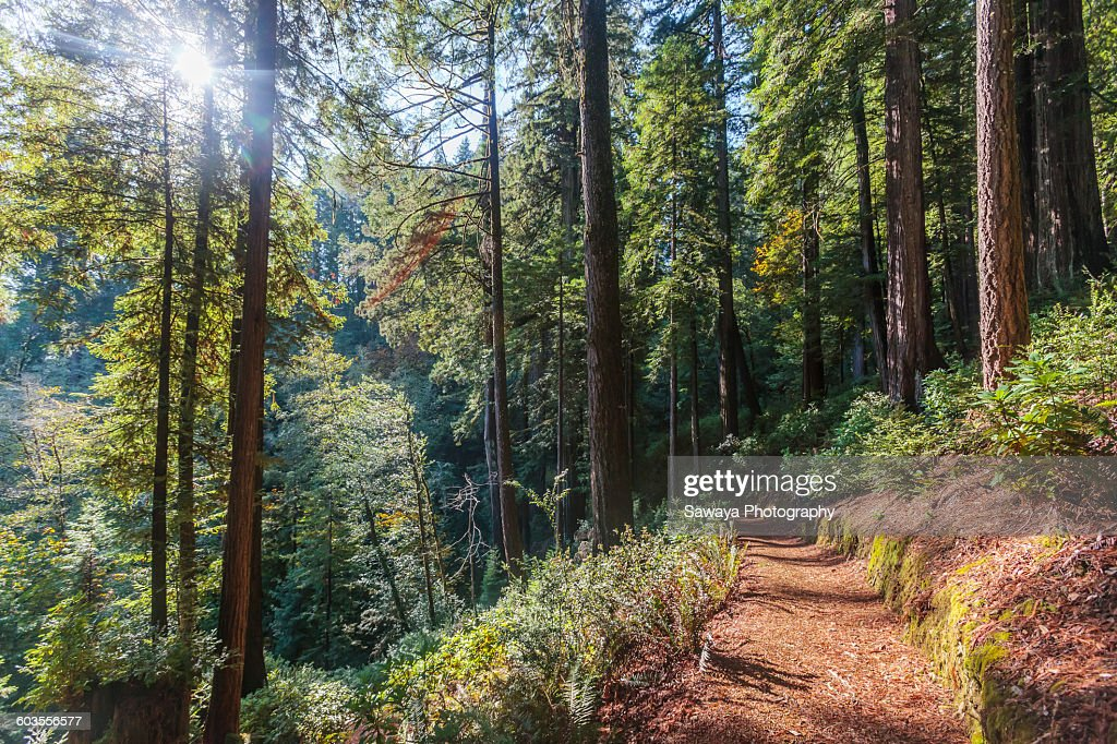 A path leading through Oregon's Redwood forest
