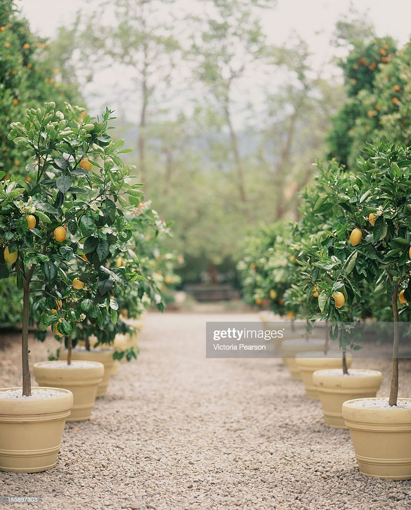 A path of potted lemon trees.