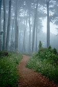 Dirt path surrounded by Cypress trees in fog
