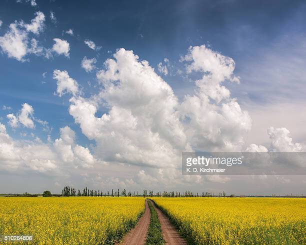 A path through a field of bright yellow canola.