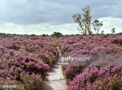 Path through a heather landscape in bloom, Kalmthoutse Heide, Belgium