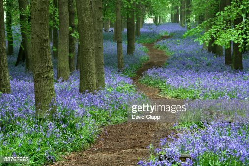 Path through bluebell (Hyacinthoides non-scripta) forest, Ashridge, Hertfordshire, England