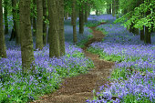 Path through bluebell (Hyacinthoides non-scripta) forest, Ashridge, Hertfordshire, England