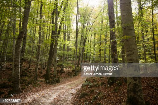 Path to the beech forest