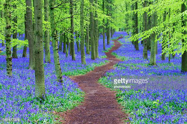 Path winding through a Bluebell wood