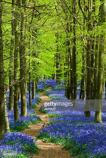 Path winding through a carpet of bluebells in a forest