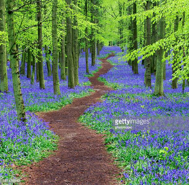 Pathway through a Bluebell wood