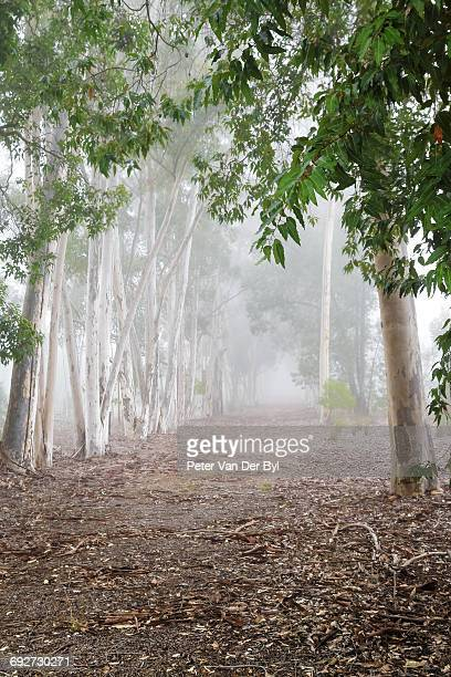Pathway through a forest in the early morning mist close to Swellendam, Western Cape Province, South Africa