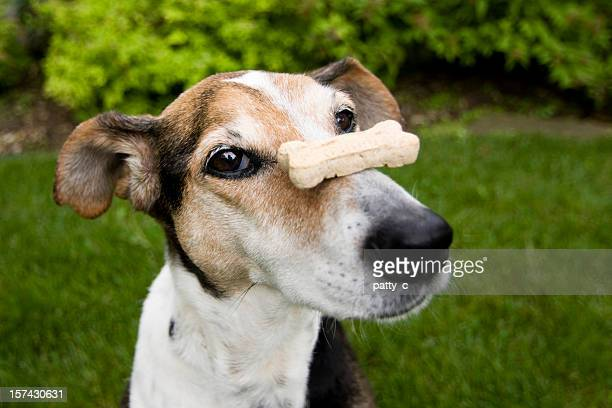 A patient dog with a dog treat balancing on his nose