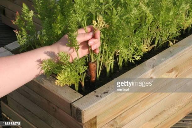 Patio Vegetable Garden Carrots