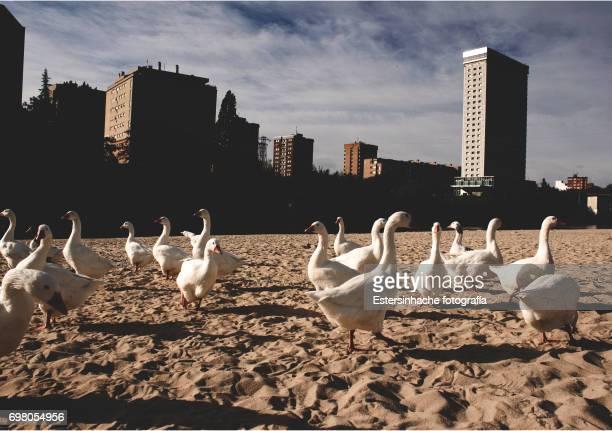 Patos y ocas paseando por la ciudad
