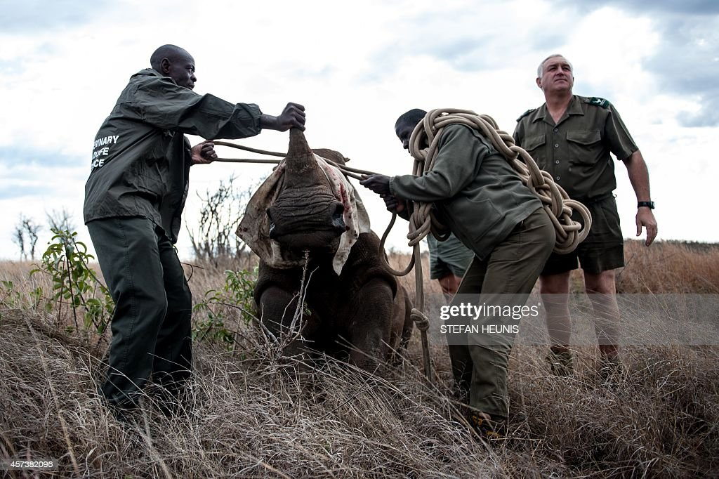 Patrick Themby andBen Boloyi readies the guide rope as members of the Kruger national Park Veterinary Wildlife Services in South Africa ensure the...