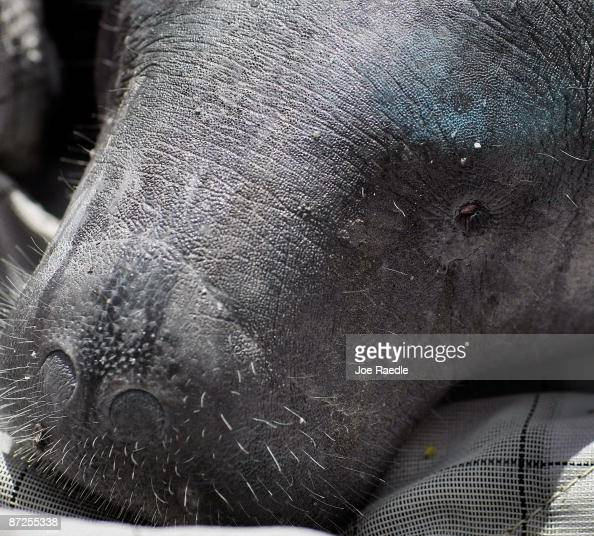 Patsy the Manatee waits as members of the Florida Fish and Wildlife Conservation Commission the United States Fish and Wildlife Service the United...