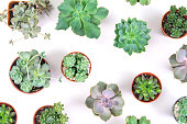 pattern of mixed succulents plant in pot on white background , overhead or top view