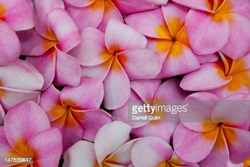 Pattern of pink Pulmeria (or Frangipani)  flowers : Stock Photo