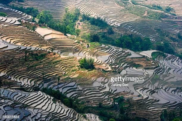 Pattern of rice paddy