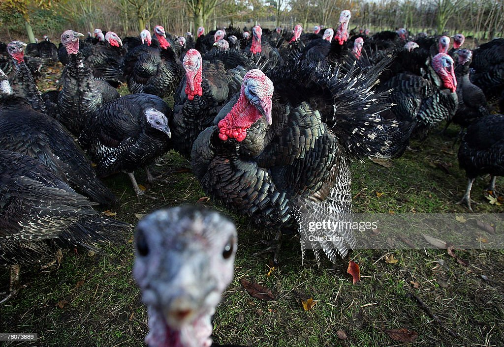 Paul Kelly's Kelly Bronze wild turkeys sitting happily in their woodland home on November 22 2007 in Danbury Essex England It is the first year that...