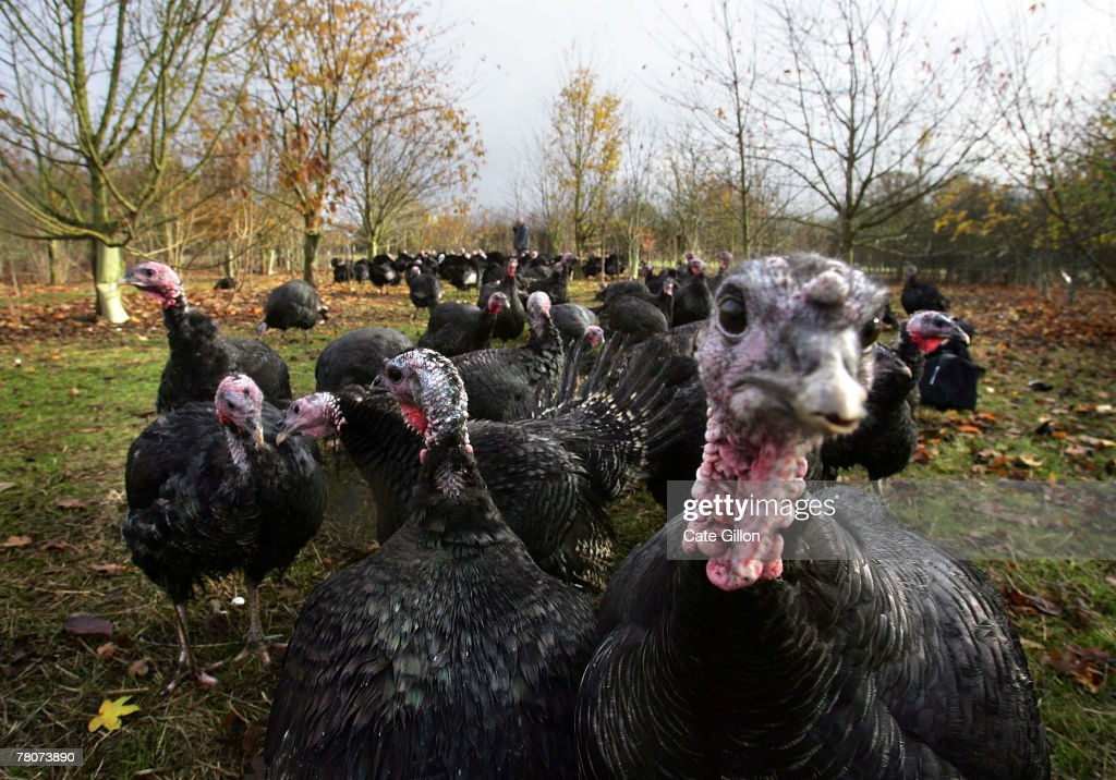 Paul Kelly's Kelly Bronze wild turkeys sitting happily in their woodland home on November 22, 2007 in Danbury, Essex, England. It is the first year that Paul Kelly has bred wild turkeys where the birds live between bluebell woods and open pasture. Using traditional processing methods, Kelly plucks and hangs the free-range birds for 14 days to allow them to develop their flavour.