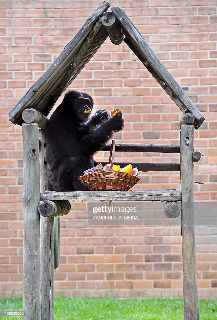 Paulinho, a chimpanzee (Pan Troglodytes), enjoys some fruit after receiving a Christmas hamper, at Rio de Janeiro's zoo on December 18, 2012.