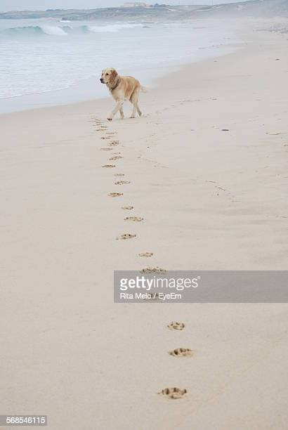 Paw Prints Leading Towards Labrador Retriever Walking On Beach