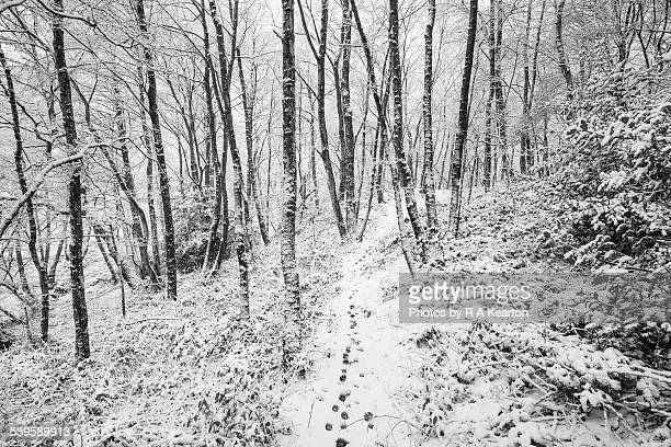 Paw prints on a snowy path in an winter woodland