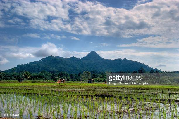 Paya mending paddy field