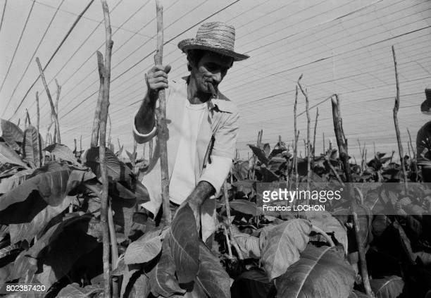 Paysan cubain travaillant dans les champs de tabac en décembre 1978 à Cuba