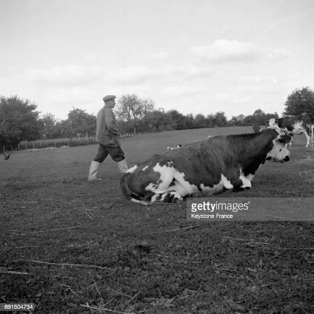 Paysan et vache en Normandie France en 1954