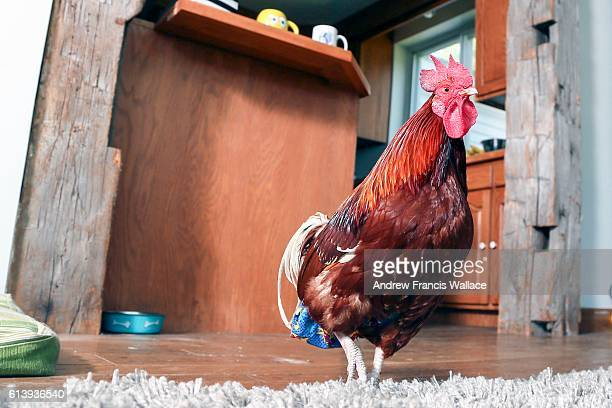 TORONTO ON JULY 27 pBlizzard a rooster who wears diapers at his family home in Burlington July 27 2016