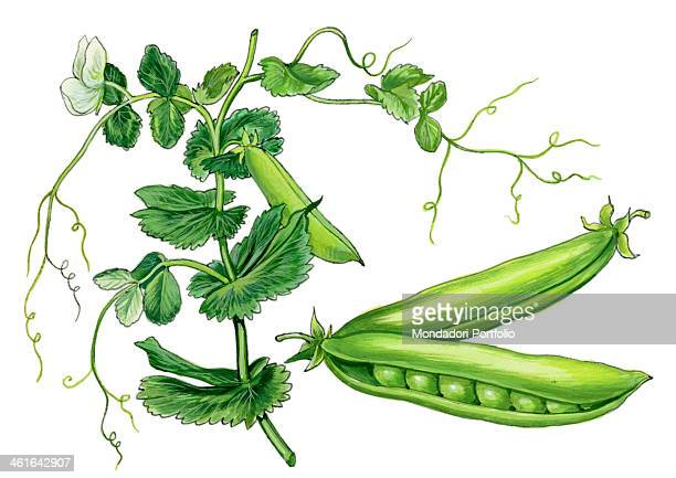 Pea by Giglioli E 20th Century ink and watercolour on paper Whole artwork view Drawing of the plant and the fruit of pea