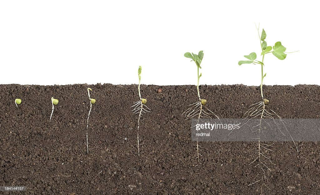 pea growth