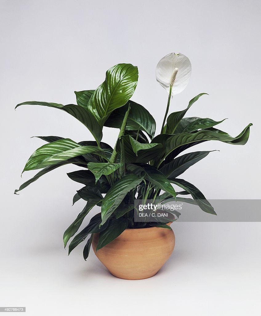 Peace lily, White sails or Spathe flower (Spathiphyllum sp), Araceae.