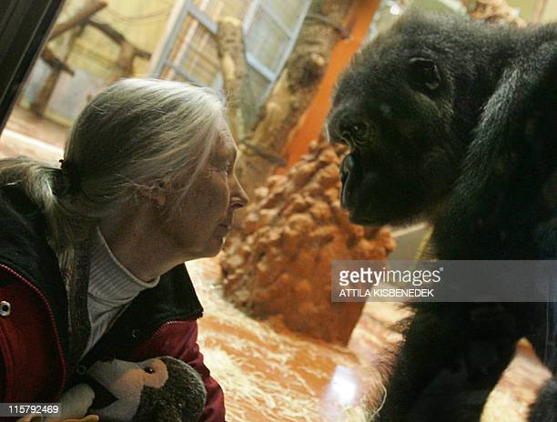 UN peace messenger and British primatologist Jane Goodall the world's famous authority on chimpanzees waits for a meeting with a gorilla family in...