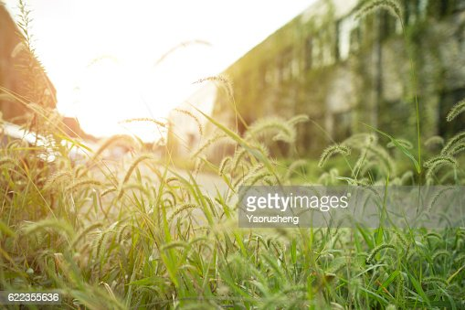 Peaceful background: grass in  the sunset