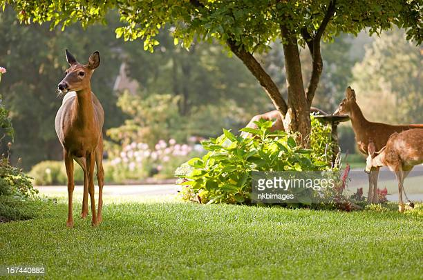 peaceful morning scene with deer nature