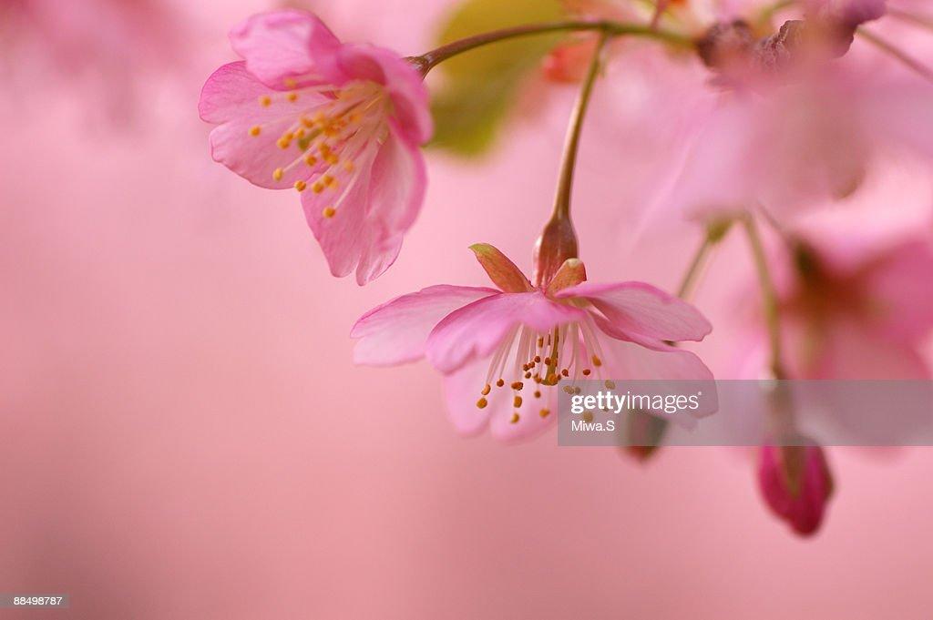 Peach blossom, close-up : Stock Photo