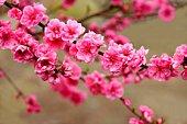 Peach blossom flowers. Saitama Prefecture, Japan