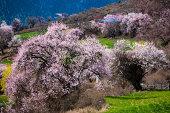 Peach blossom of Tibet