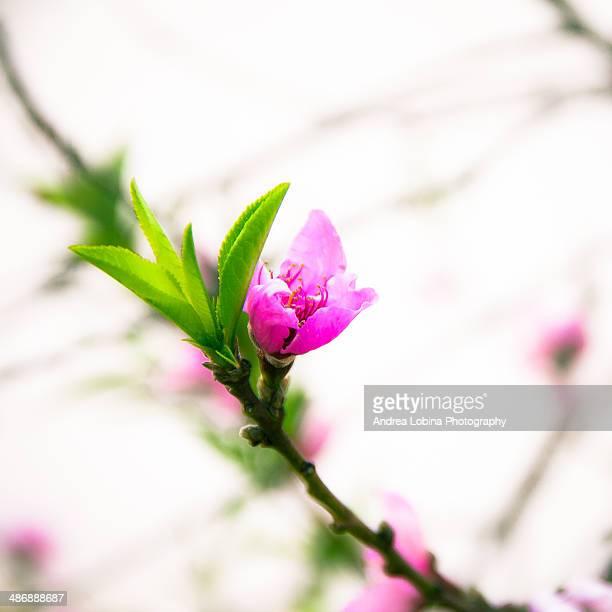 Peach blossom (flower)