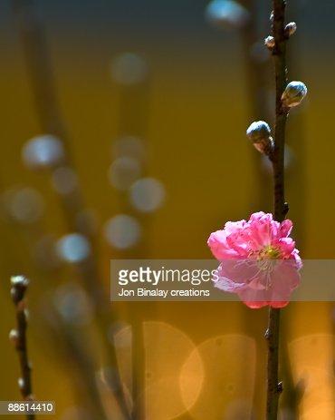 Peach Blossom : Stock Photo