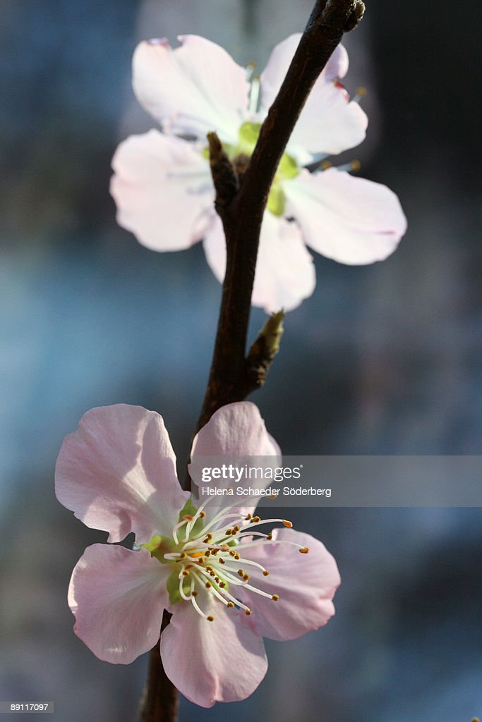 Peach blossom : Stock Photo