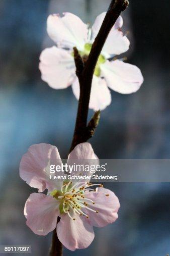 Peach blossom : Stockfoto