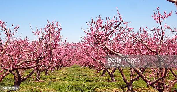 Peach Blossom Trees On Grassy Field Against Clear Blue Sky